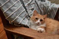 Jimmy (rootcrop54) Tags: jimmy orange ginger tabby male longhair rocking chair rocker aqua blue chenille neko macska kedi 猫 kočka kissa γάτα köttur kucing gatto 고양이 kaķis katė katt katze katzen kot кошка mačka gatos maček kitteh chat ネコ cc100 cc300