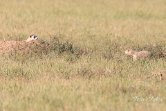 Black-footed Ferret and Prairie Dog size each other up