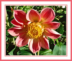 Dahlia Glowing (bigbrowneyez) Tags: light sunny sunshine lovely pretty gorgeous nature natura fioro bello elegant ottawa canada petals fleur fabulous amazing clarity dof delightful striking stunning fresh bright