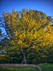 On its own III (marc.barrot) Tags: tree hampstead heath london nw3 uk park am blue yellow green bright landscape