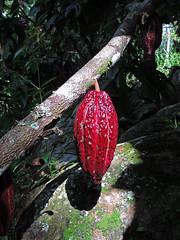 No. 1918 - 30 de septiembre/18 (s_manrique) Tags: cacao fruta naturaleza planta