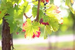 Autumn Vines (Nathalie_Désirée) Tags: vineyard vines wine leaf leafs plant plants color colour autumn season hill amalienhof beilstein soehlbach canoneos600d canon50mm f18 sun sunshine nature outdoors outdoor grape grapes