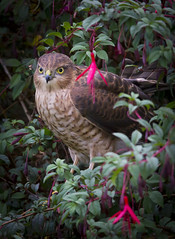 Sparrowhawk (Vale Boy) Tags: sparrowhawk youngster fuschia garden huntint bush thicket glare romantic terror