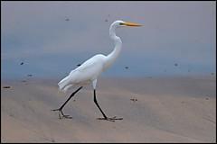Garça-branca-grande (Ardea alba) grande aigrette. (wilphid) Tags: riovermelho salvador bahia brésil brasil plage rivage océan atlantique mer oiseau