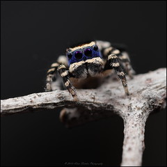 personatus front 1 c (GTV6FLETCH) Tags: maratus peacockspider spider jumpingspider macro macrophotography maratuspersonatus blueface canon canonmpe65mmf2815xmacrophotolens canonmpe65mm15xmacro mpe65mm mpe65 mpe 5dsr 5dsrcanon canon5dsr canoneos5dsr westernaustralia arachtober
