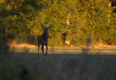 _DSC1787 (Ouverture Sauvage) Tags: cerf deer sologne soing forêt wood prairie vert herbe weed nikon d7200 sigma 150600 12 andouillet roi king bois amour love