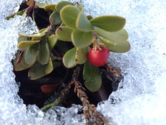 First Snow Fall ... (Mr. Happy Face - Peace :)) Tags: wilderness cranberrys wild snow cans2s macromonday art2018 berries albertabound canada macro closeup