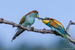 European bee-eaters (mating rituals). (Ciminus) Tags: naturesubjects aves ornitology nature ciminus birds afsmicronikkor105mmf28gedvrii ciminodelbufalo matingrituals wildlife gruccioni europeanbeeeaters oiseaux nikond500 meropsapiaster afsnikkor500mmf4gedvrii uccelli ornitologia