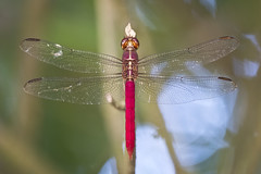 dragonfly (matt_in_a_field) Tags: dragonfly wings insect flying fuji fujinon fujifilm costa rica costarica animal wild wildlife bug nature natural symmetry red