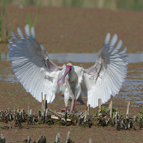 "African Spoonbill, Platalea alba, at Marievale Nature Reserve, Gauteng, South Africa • <a style=""font-size:0.8em;"" href=""http://www.flickr.com/photos/93242958@N00/45225955821/"" target=""_blank"">View on Flickr</a>"
