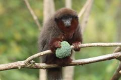 Have broccoli, will travel! (charliejb) Tags: 2018 bristolzoogardens bristol bristolzoo mammal clifton wildlife redtitimonkey primate monkey