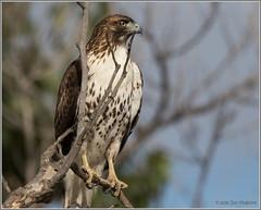 Red-tail up Close 3357 (maguire33@verizon.net) Tags: pradoregionalpark redtailedhawk bird birdofprey hawk wildlife chino california unitedstates us