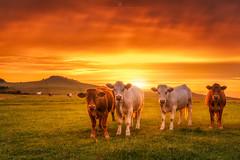 Apocowlypse (Alexander Lauterbach Photography) Tags: deutschland germany sunset sonnenuntergang hessen nordhessen dörnberg zierenberg kühe cows burning sky epic sony a7rii