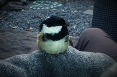 A Cuddle with a Coal Tit..x (Lisa@Lethen) Tags: coal tit bird nature wildlife window hit survived tiny