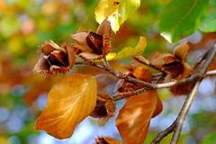 Beech (zinnia2012) Tags: beech beechnuts branch leaves bokeh autumn