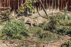 Between Harvests (p) (davidseibold) Tags: america animal artichoke backyard bakersfield california cooperthedog dog fence fruit garden grapevine jfflickr kerncounty pet photosbydavid platoct postedonflickr unitedstates usa vegetable woodfence