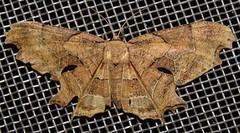 moth (Birdernaturalist) Tags: bolivia epipleminae lepidoptera moth richhoyer uraniidae