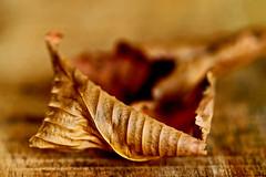 Autumn leaf (eleni m) Tags: crinkledwrinkledfoldedorcreased macro hmm autumn leaf dof brown macromondays