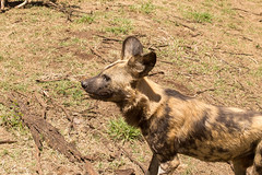 IMG_8851 (kijani_lion) Tags: lion safari park african wild dog south africa