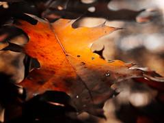 Variation of autumn leaves (PHOTOGRAPHY Toporowski) Tags: kontrast bokeh vergänglichkeit abstrakt korn light contrast herbst autumn macro licht schärfentiefe nature alt alterung rot gelb natur existinglight orange vergänglich nahaufnahme eschweiler nrwnordrheinwestfalen deutschland deu
