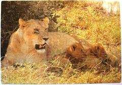 Afrika (Leonisha) Tags: puzzle jigsawpuzzle lions lioncubs lioness löwen löwenfamilie löwin