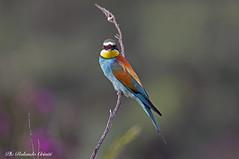 Gruccione _038 (Rolando CRINITI) Tags: gruccione uccelli uccello birds ornitologia avifauna ornitlogia santalbanostura natura