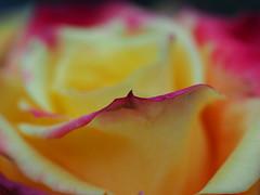 Untitled (Grazerin/Dorli Burge) Tags: rose flower floral abstract macro petal yellow red edge selectivefocus bokeh elements