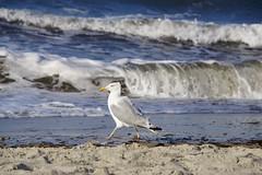 I' m in such a hurry... (**Karin**) Tags: heiligendamm ostsee balticsea strand möwe seagul beach sea