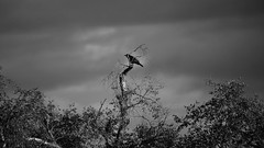 IMG_3754x_00001 (frans.oost) Tags: bird dawn tree kraai crow monochrome