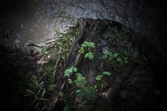 3/4 missing tree, river's light, 9-2-18 (wbhmatthies) Tags: river tree missing stump grasses mingle light luminous illuminated death decay regenerate regrowth growth passing