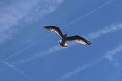 mouette3 (marcel.photo) Tags: möwe mouette vogel bird vevey schweiz switzerland genfers lac lémon
