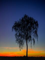 Ein Baum trauert (jezebel_cux) Tags: deutschland niedersachsen waldflur pentaxk3ii blumenpflanzenundbäume mghprojekt pentaxda35mmf24