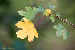 _AAI3274 (De Hollena) Tags: autumn autumnleaves blad blatt fall feuille herbst herfst herfstblad herfstkleuren leaf otoño