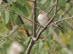 White-crowned Sparrow, Tidewater Farm (Bill Bunn) Tags: whitecrownedsparrow falmouth maine