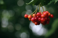 Viburnum (annazelei) Tags: tree macro natura nature naturaleza naturephoto red rot piros green flora dipsacales species canon eos garden wild light bokeh color colour colourful season plant sunny wald woods kányabangita berry droppings carp fruit berries botanic bush
