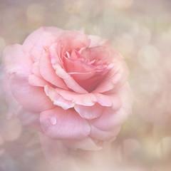 Beautiful (BirgittaSjostedt) Tags: rose soft pink romantic wedding gift card texture