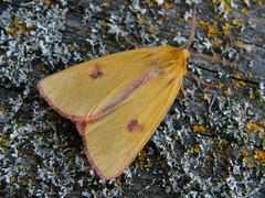 Vörösszélű medvelepke (Diacrisia sannio) hím - Rotrandbär Männchen - Clouded buff male (baloghdia1985) Tags: moth erebidae diacrisia