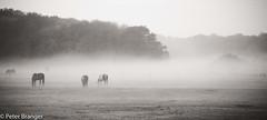 Morning mist [explored] (Peter Branger) Tags: mist landscape horse grass sky panorama trees