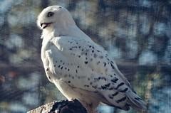 the beauty (***étoile filante***) Tags: schneeeule snowyowl owl eule bird vogel beautiful soul soulful pentax bokeh bokehlicious