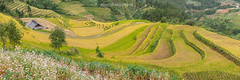_J5K2475.0918.Dế Xu Phình.Mù Cang Chải.Yên Bái. (hoanglongphoto) Tags: asia asian vietnam northvietnam northwestvietnam landscape vietnamlandscape vietnamscenery scenery vietnamscene mountain flanksmountain terraces terracedfields harvest seasonharvest flower house home canon canoneos1dsmarkiii canonef2470mmf28liiusm tâybắc yênbái mùcangchải dếsuphình phongcảnh phongcảnhmùcangchải mùcangchảichảimùalúachín mùcangchảimùagặt ruộngbậcthang ruộngbậcthangmùcangchải núi sườnnúi ngôinhà hoa hoatamgiácmạch panorama
