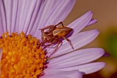 Flower and Lynx Spider (Rodger1943) Tags: spiders australianspiders fz1000 maranoagardens