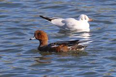 Pow Burn Duck Selection (Dougie Edmond) Tags: birds nature wildlife ducks prestwick scotland unitedkingdom gb
