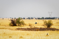 Wild Ostrich Spotting (thisbrokenwheel) Tags: africa countryside scenefromatrain rail southafrica wildlife travel train bird railtravel plains ostrich landscape shosholozameyl guineafowl grass