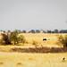 Wild Ostrich Spotting