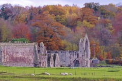 Decline and fall (Sundornvic) Tags: haughmondabbey shropshire ruins abbey church heritage history trees woods fields sheep colour grey stone nature fall autumn
