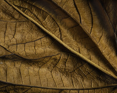 Shapes And Patterns In An Old Leaf (Bill Gracey 22 Million Views) Tags: textures shapes patterns shadows offcameraflash sidelighting color warmcolors yongnuo yongnuorf603n homestudio tabletopphotography macrolens macrophotography