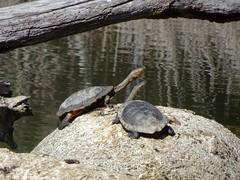 Eastern Long-Necked Turtles (RJNumbat) Tags: eastern longnecked turtles