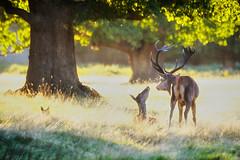 Love Is In The Air... (paulinuk99999 (lback to photography at last!)) Tags: paulinuk99999 bushypark stag doe mate british mammal london wildlife sal70400g a73 a7iii dusk sunset