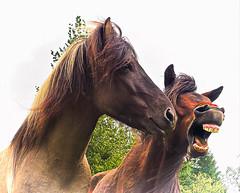 Pferde auf Island (Ulrich Scharwächter) Tags: pferde