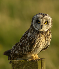 Short eared owl (waynehavenhand1) Tags: asioflammeus post wild wildlife nature raptor northumberland owl shortearedowl